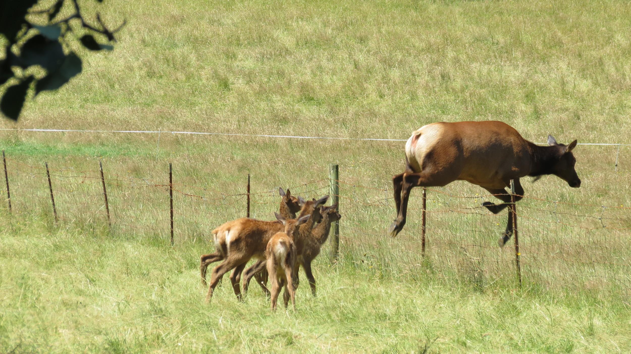 Roosevelt Elk cow and calves