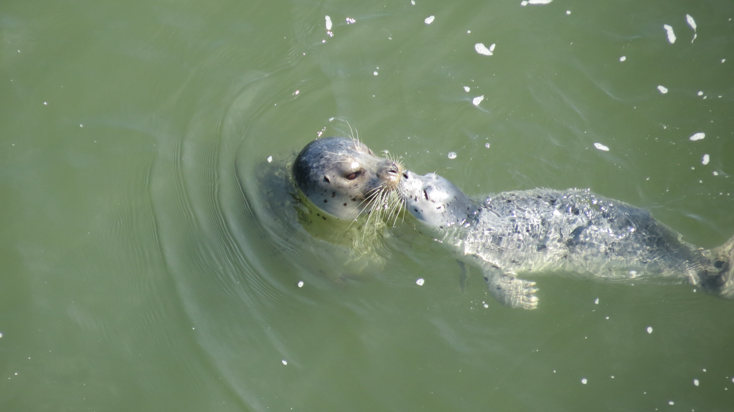 Harbor Seal mom with pup, Alsea Bay, Oregon Coast