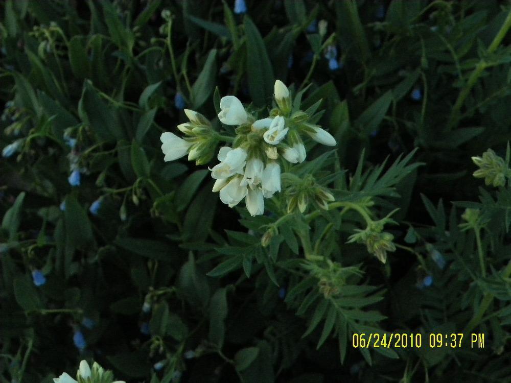 LodgepoleWildflowers-white1.jpg