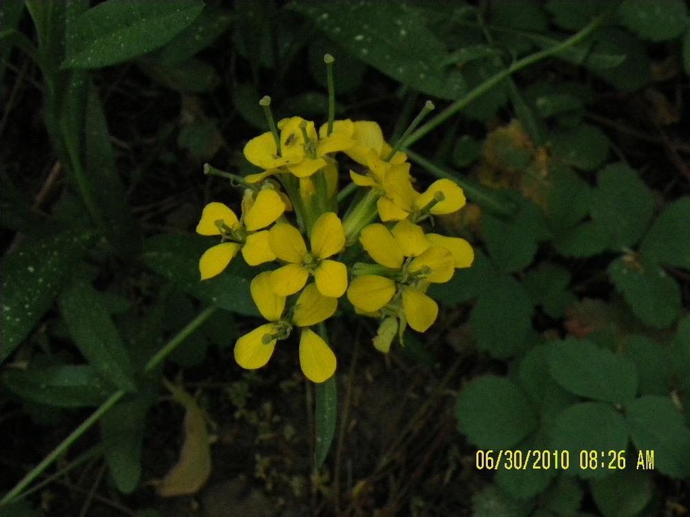 LodgepoleWildflowers-yellow3.jpg