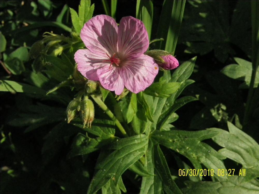 LodgepoleWildflowers-pink2.jpg