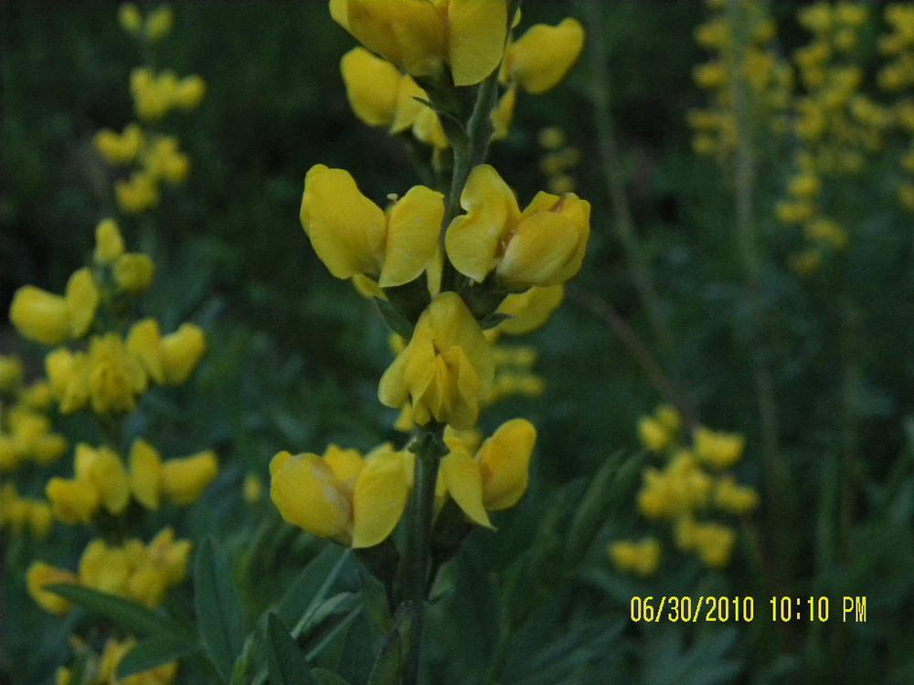 LodgepoleWildflowers-yellow2.jpg