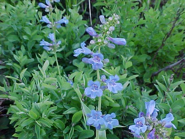 WildflowerBue.jpg