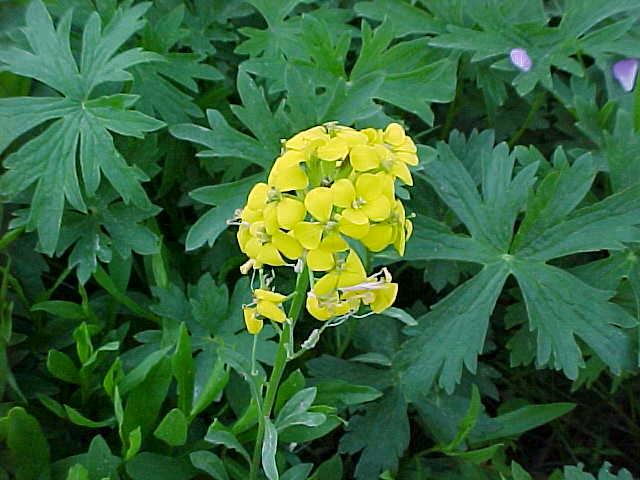 WildflowerYellow.jpg