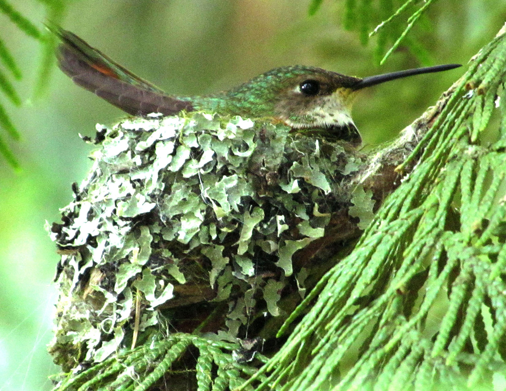 Female Rufous on the nest