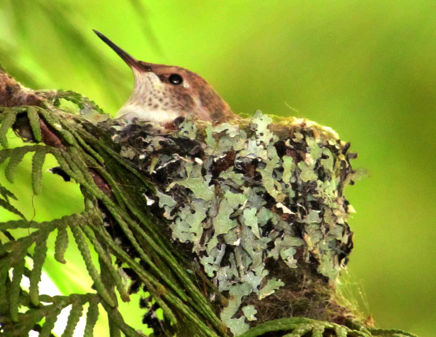 Hummingbird Chick in Nest