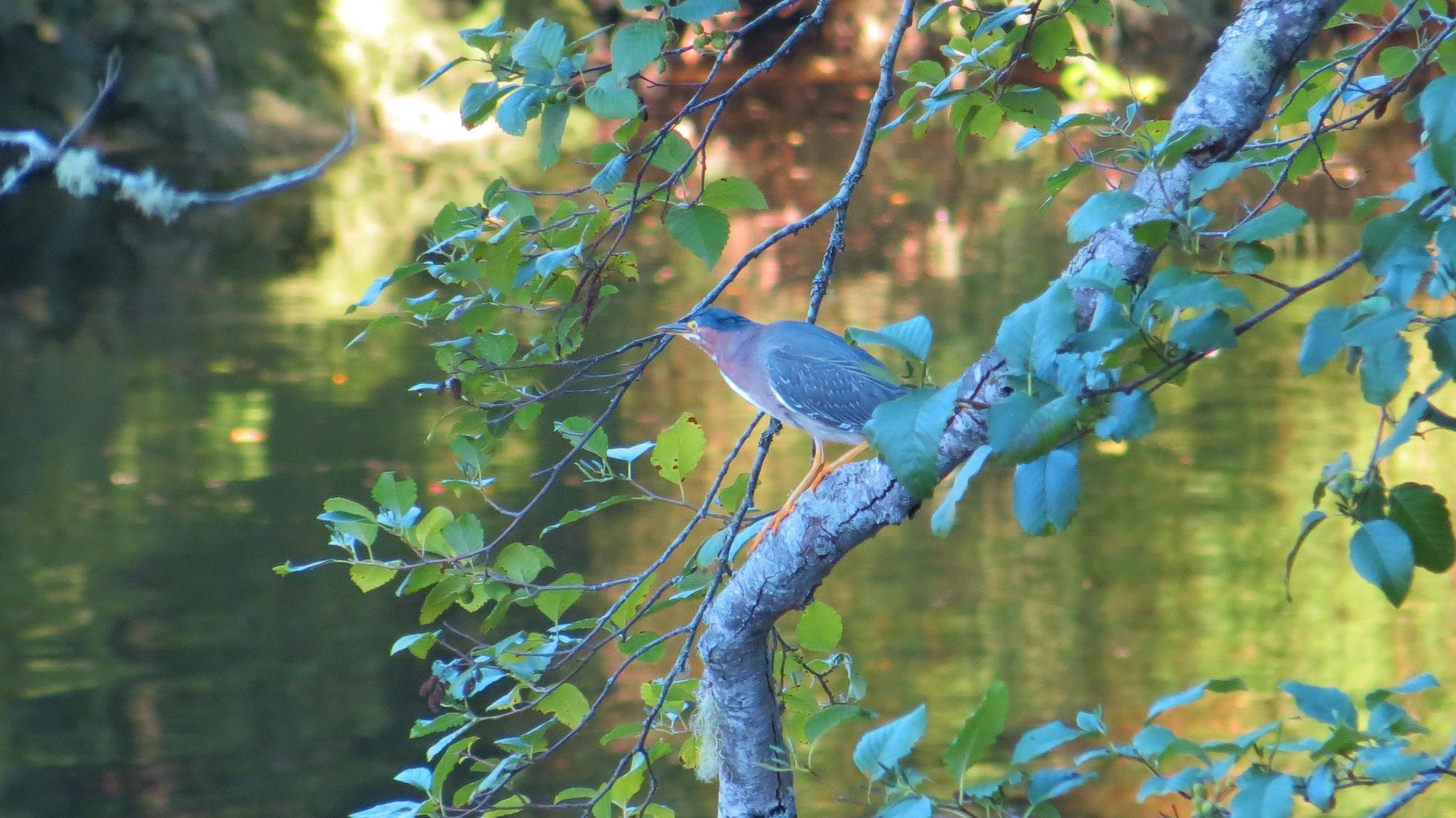 Green Heron, near Blackberry Campground, Oregon Coast