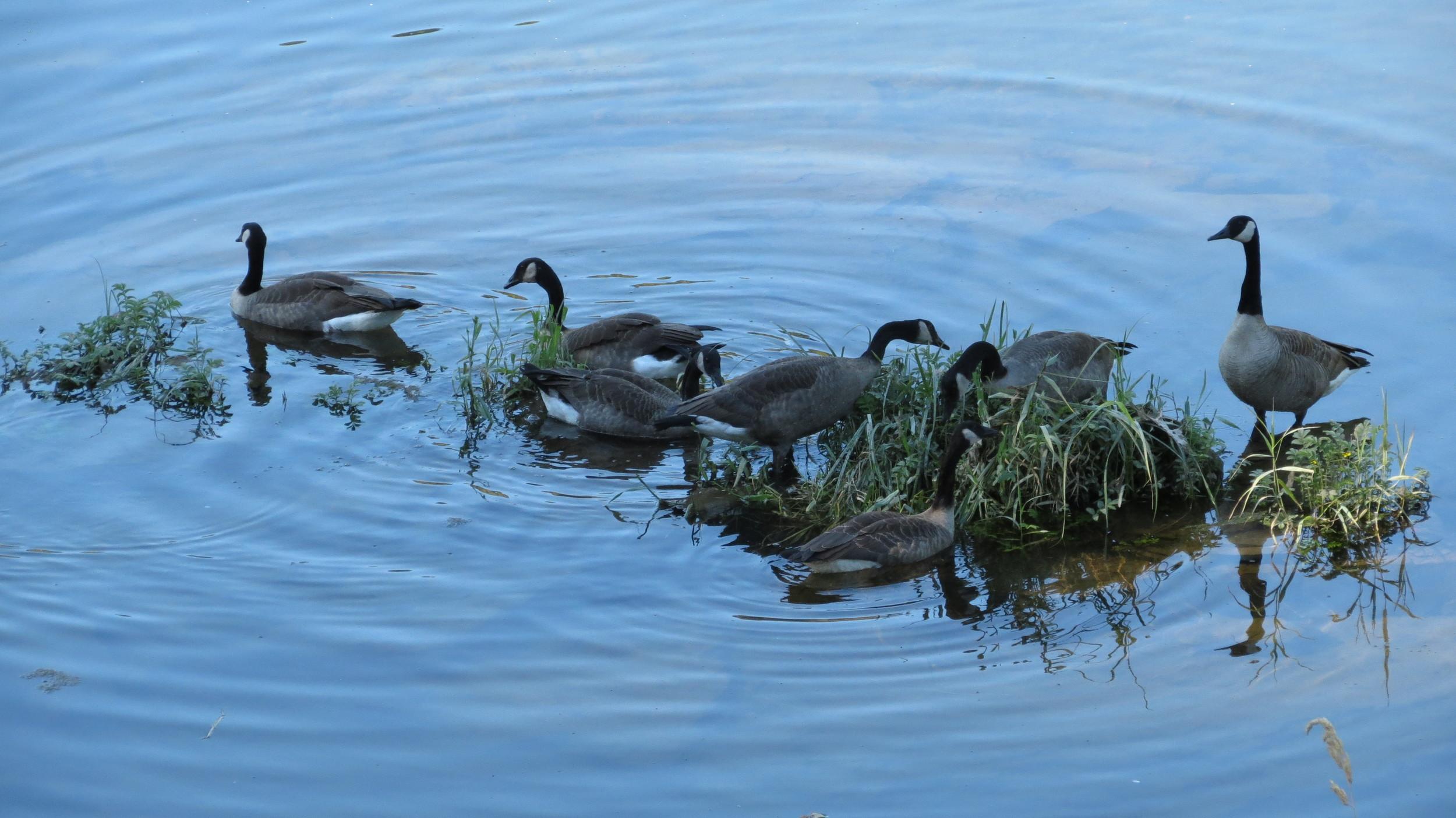 Canada Geese, near Sutton Campground, Oregon Coast