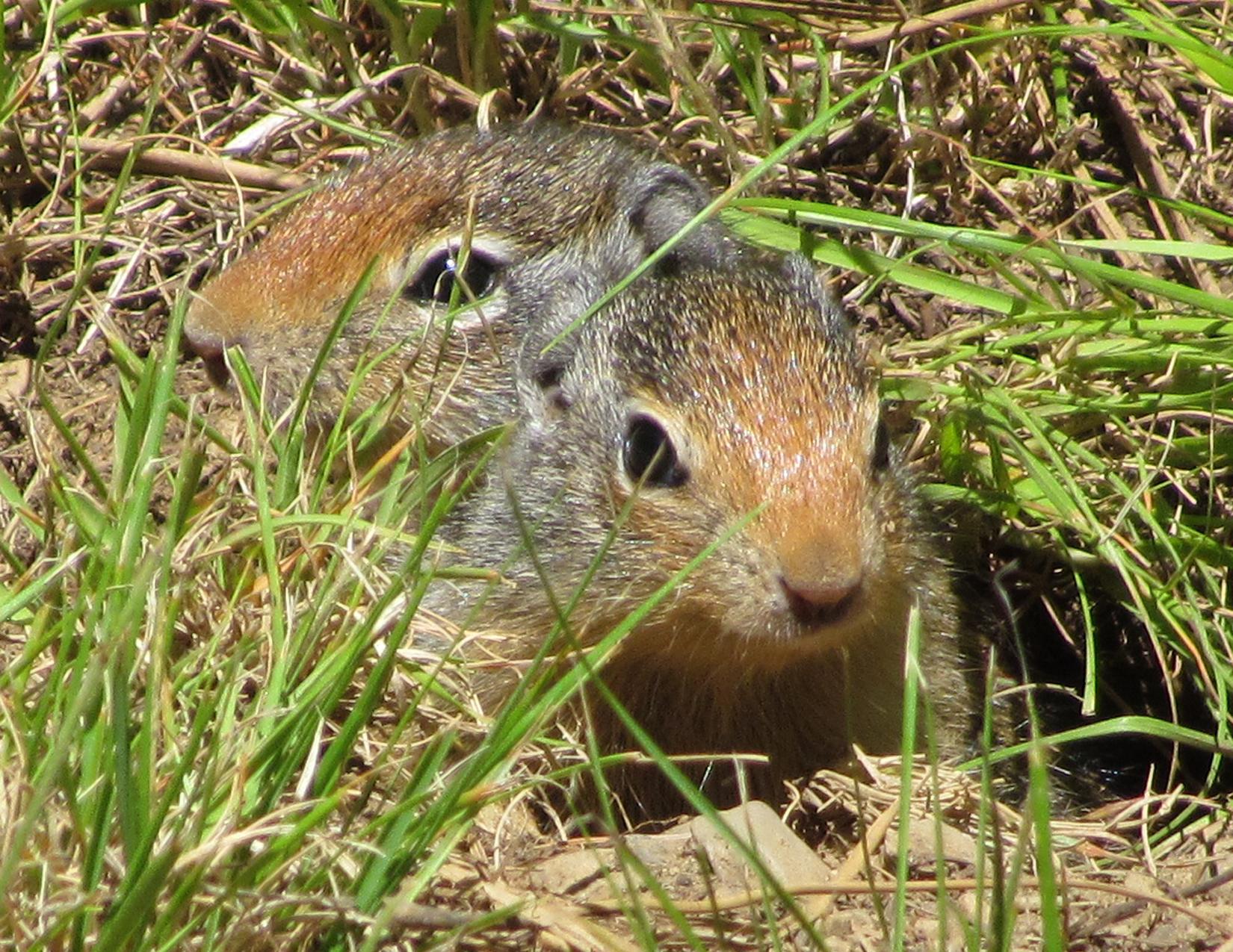 Squirrels - Sam Owen Campground, near Hope, Idaho