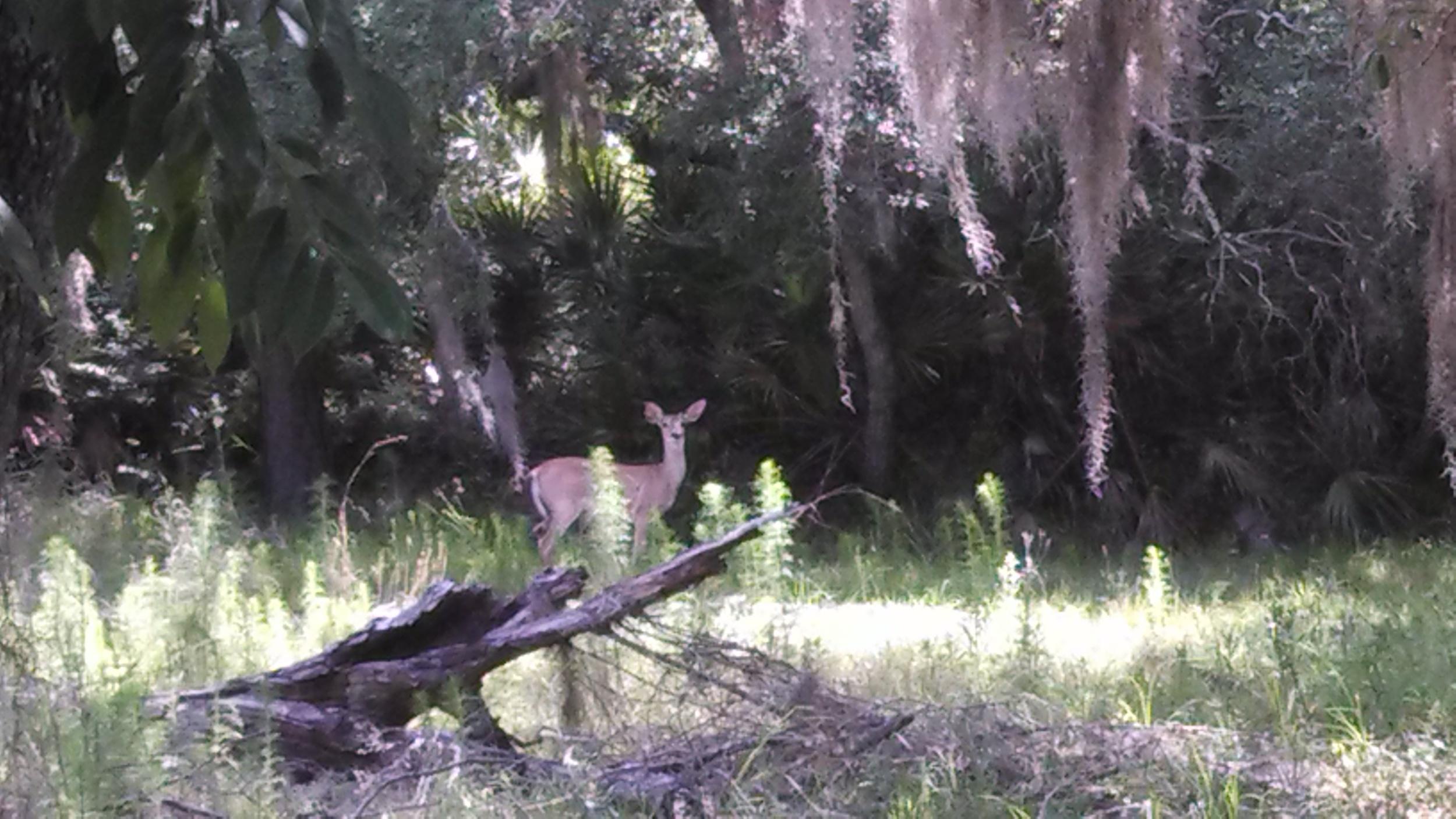 SilverGlenSprings-deer.jpg