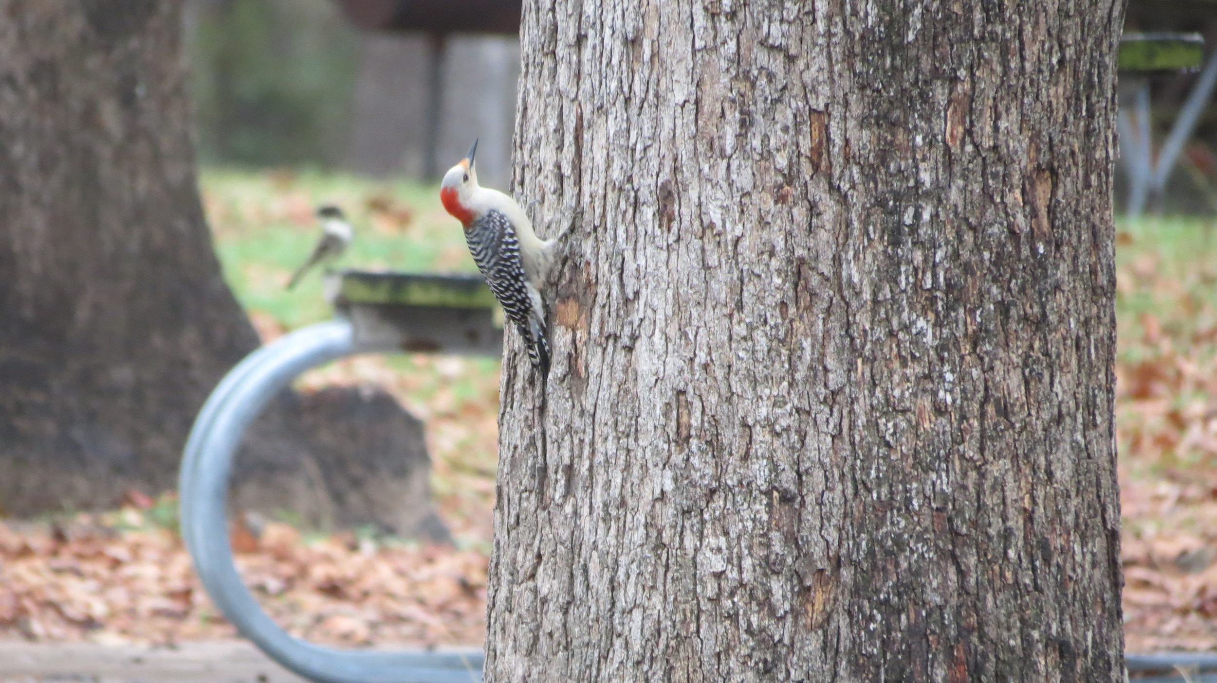 Texas-Woodpecker.JPG