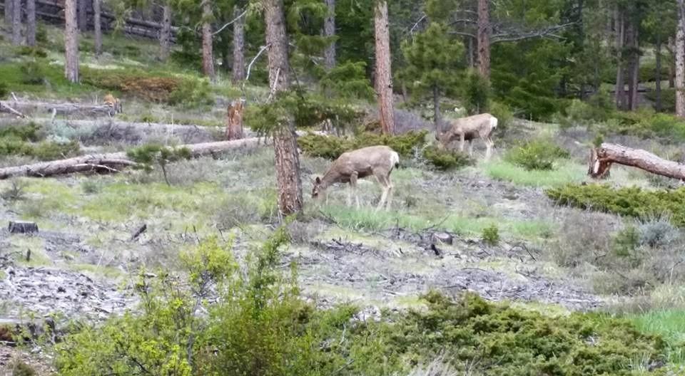 Mule deer are common
