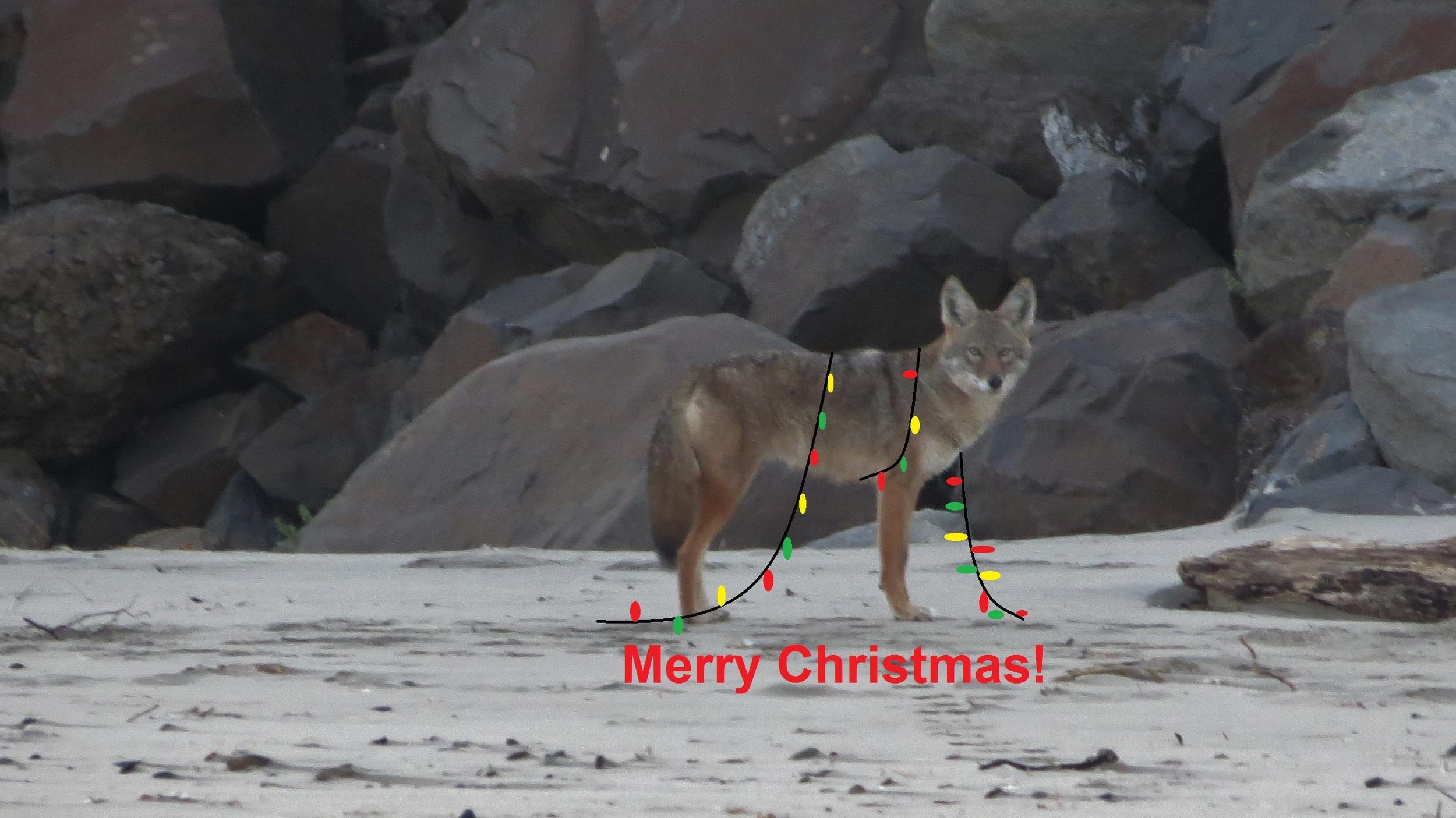 TillicumCoyote-Christmas.JPG
