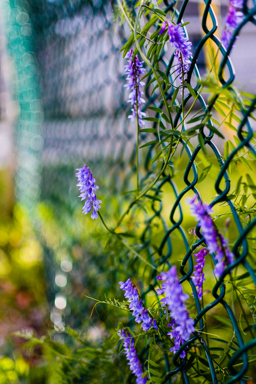 Chain Fence Flower