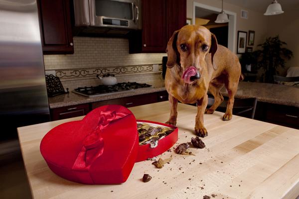 Dog eaten chocolate.jpg