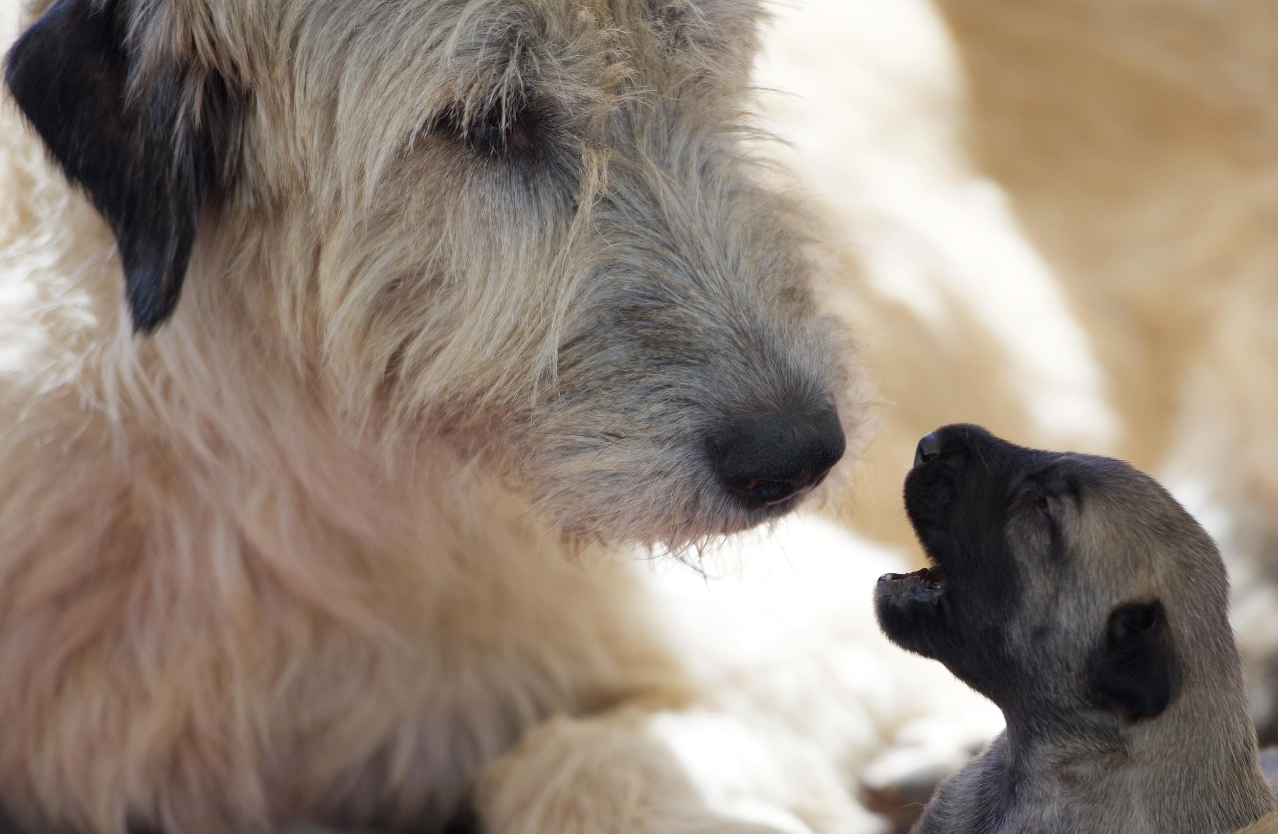 Whelping and rearing of all our Bonaforte Irish Wolfhound puppies takes place in the home environment (Bonaforte's Any Old Eva)