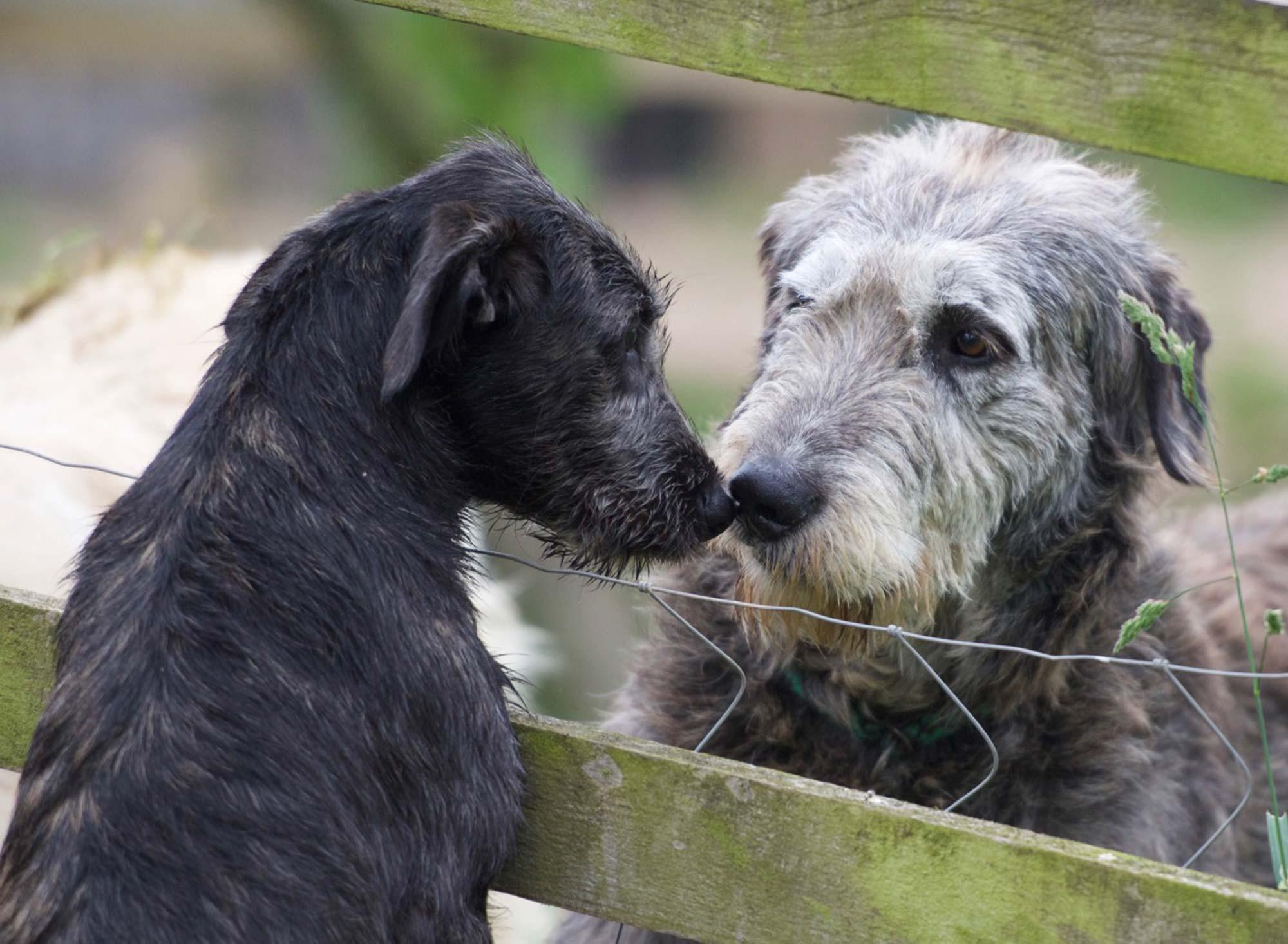 Health Issues Bonaforte Irish Wolfhounds