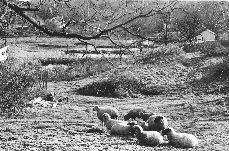 Sheep_1977.jpg