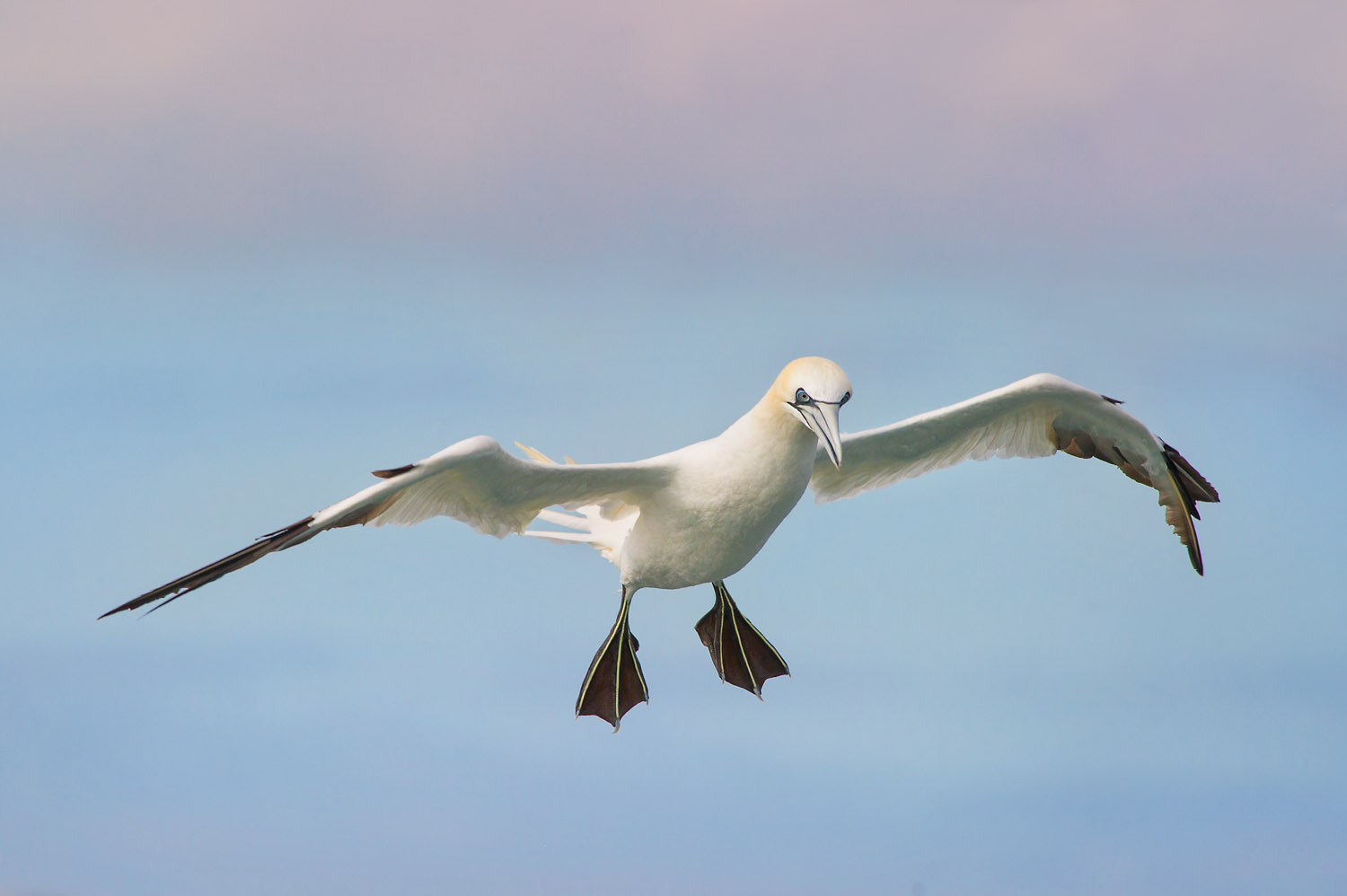 A beautiful Northern Gannet flares its wings before diving into the Atlantic Ocean.