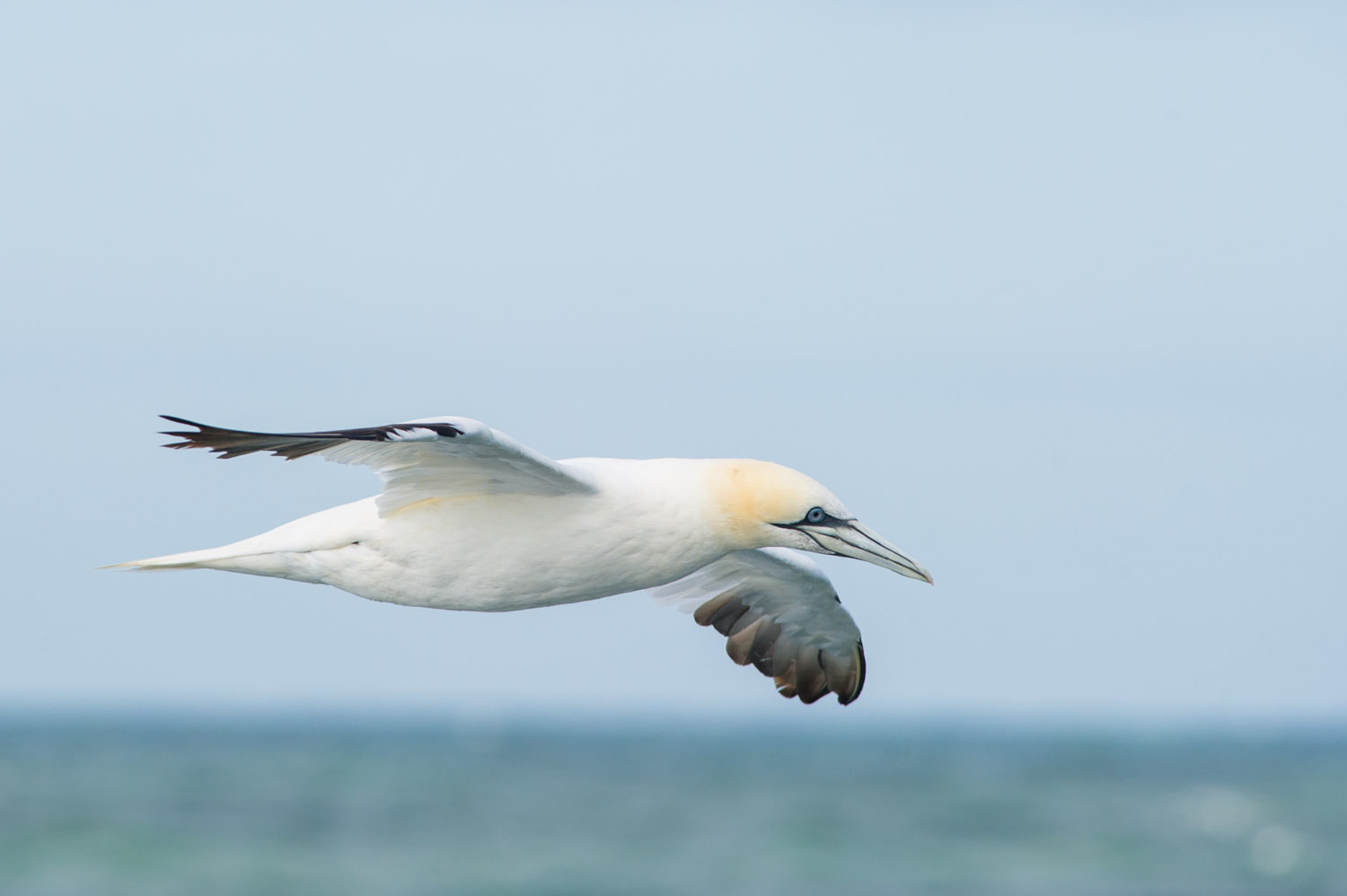 A Northern Gannet cruises by at almost eye level as we head out to sea.