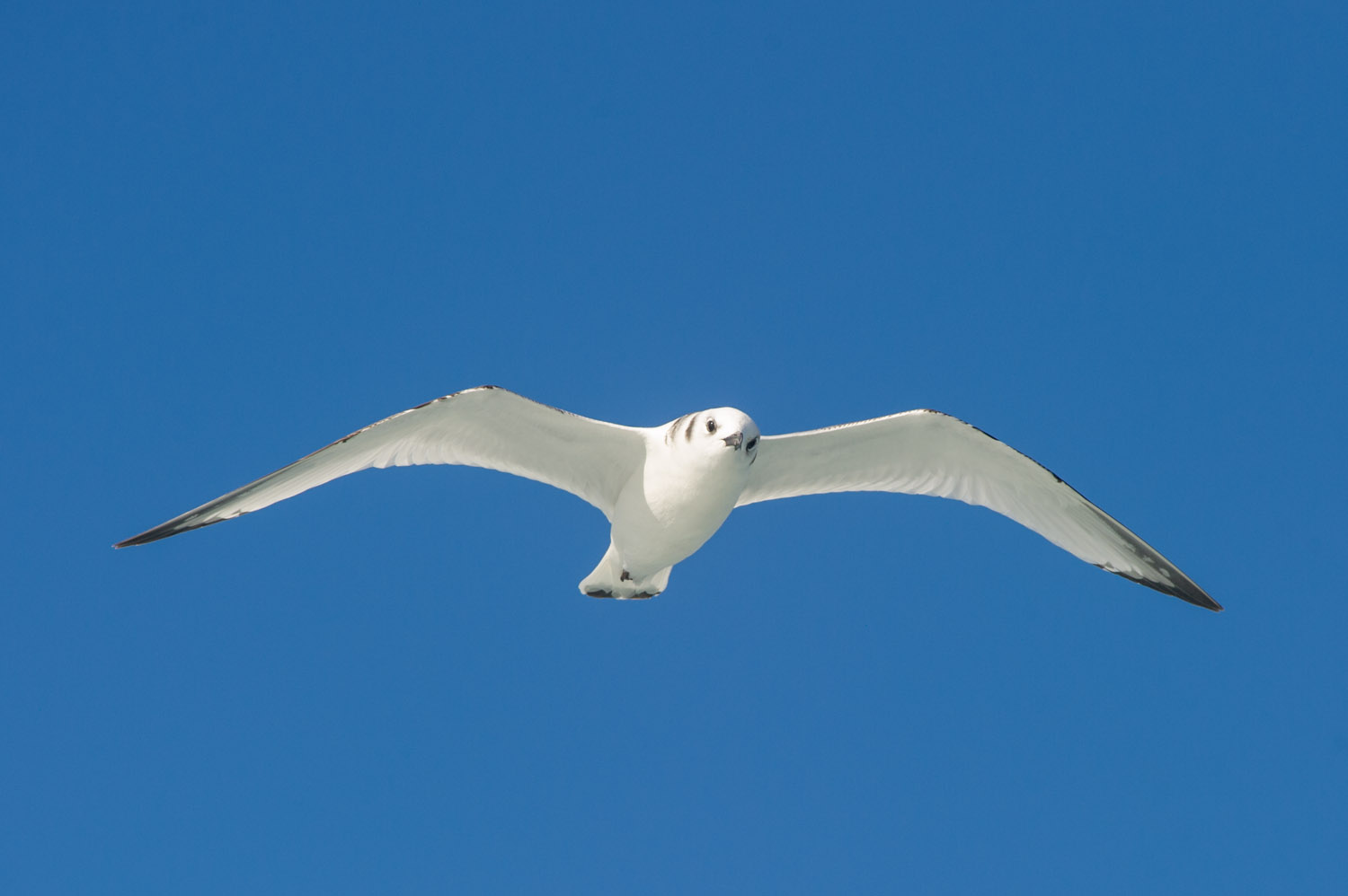 A very striking Bonaparte's Gull looks down at the boat