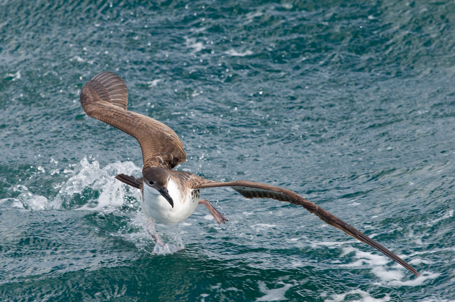 A Greater Shearwater frantically tries to get some of the chum.
