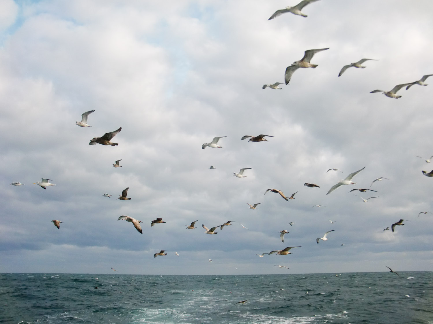 Part of the flock following the boat out in the Atlantic Ocean