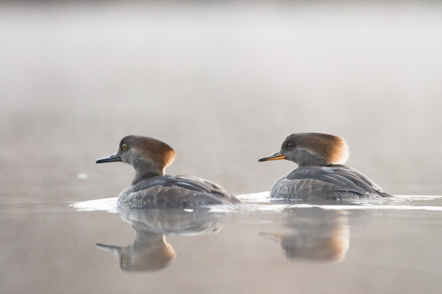 A juvenile male (left) and female Hooded Merganser
