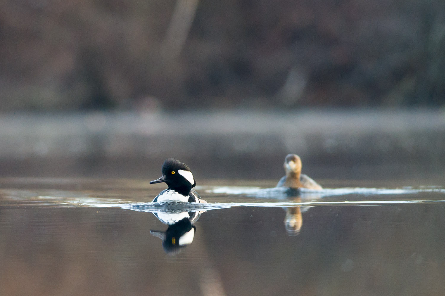 A male Hooded Merganser with a Pied-billed Grebe in tow.