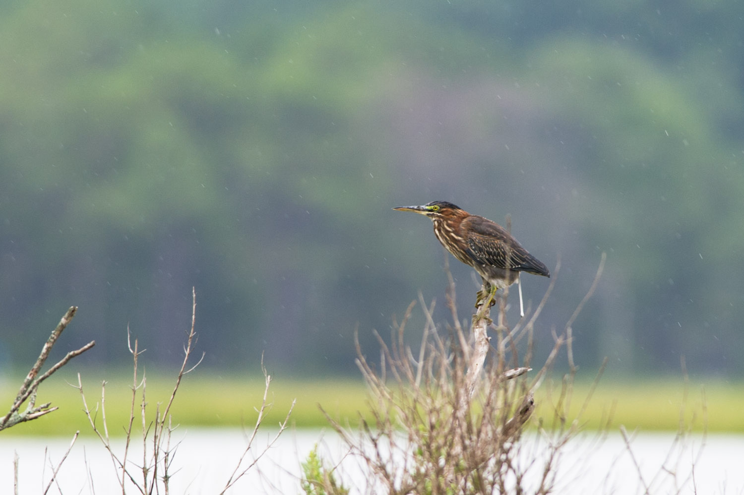 A green heron perches on a branch while it begins to rain.