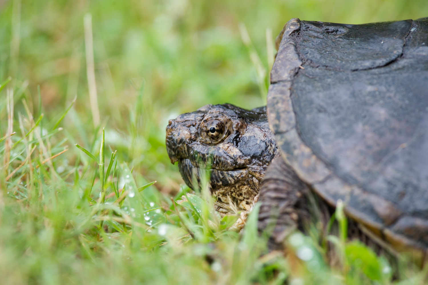 A medium sized snapping turtle that was crossing an open trail.