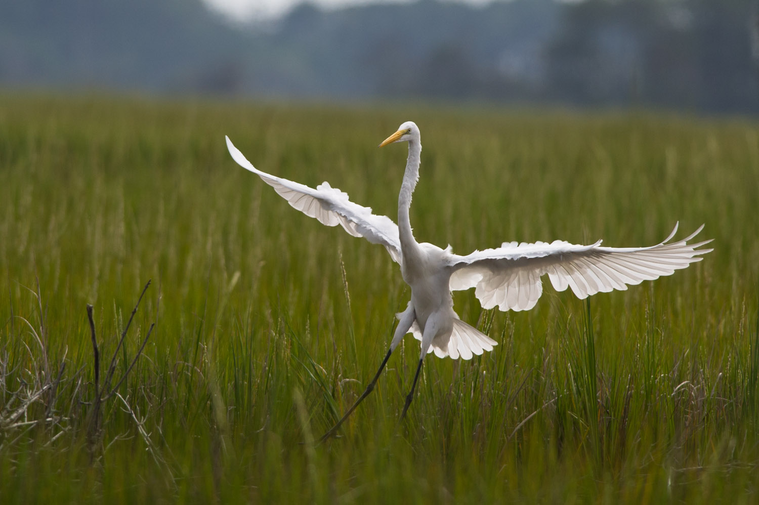 A graceful Great Egret comes in for a landing as I sit on the dock of the rental house.