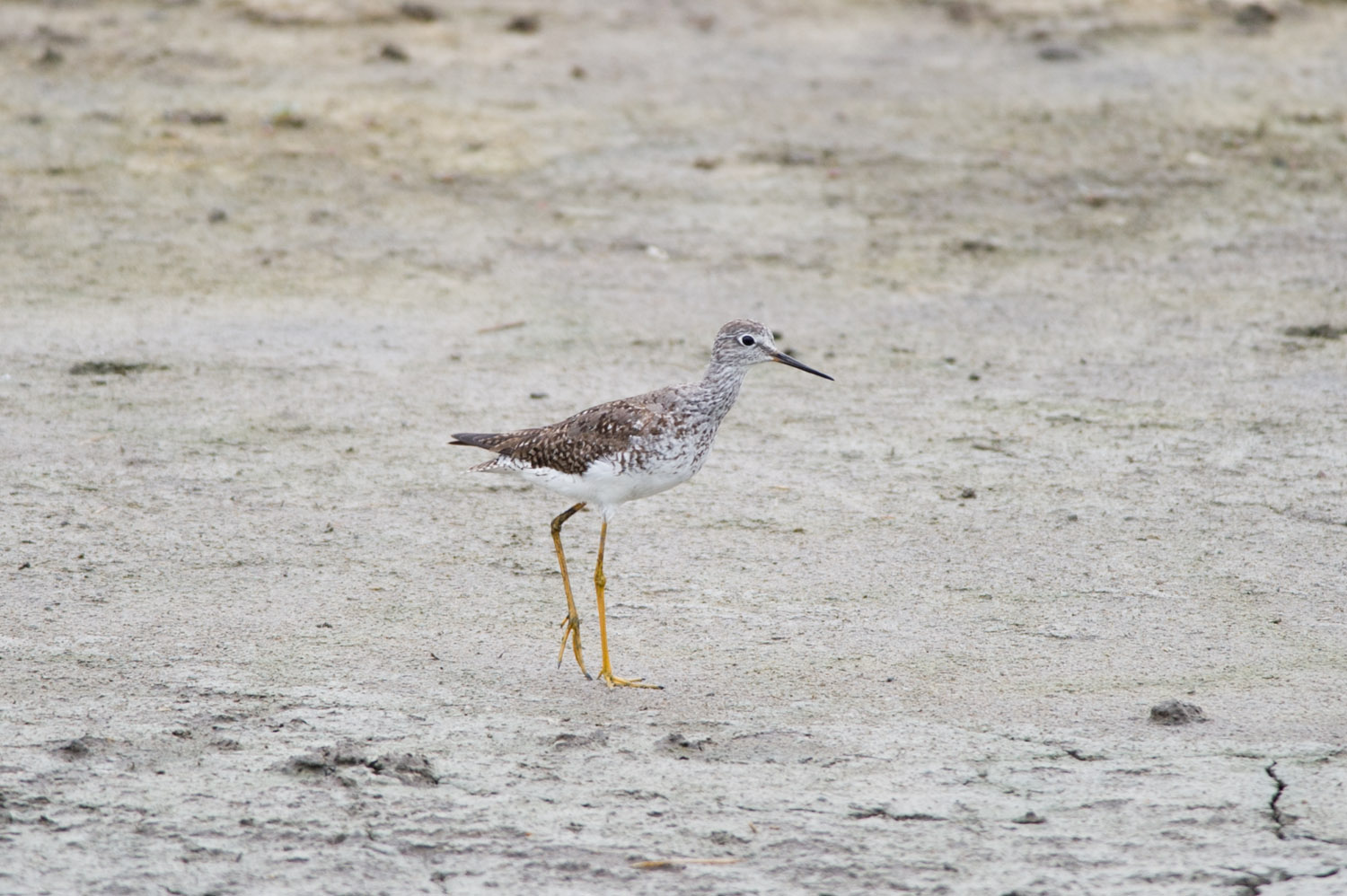 A Greater Yellowlegs walks along the dried mud flats looking for food.