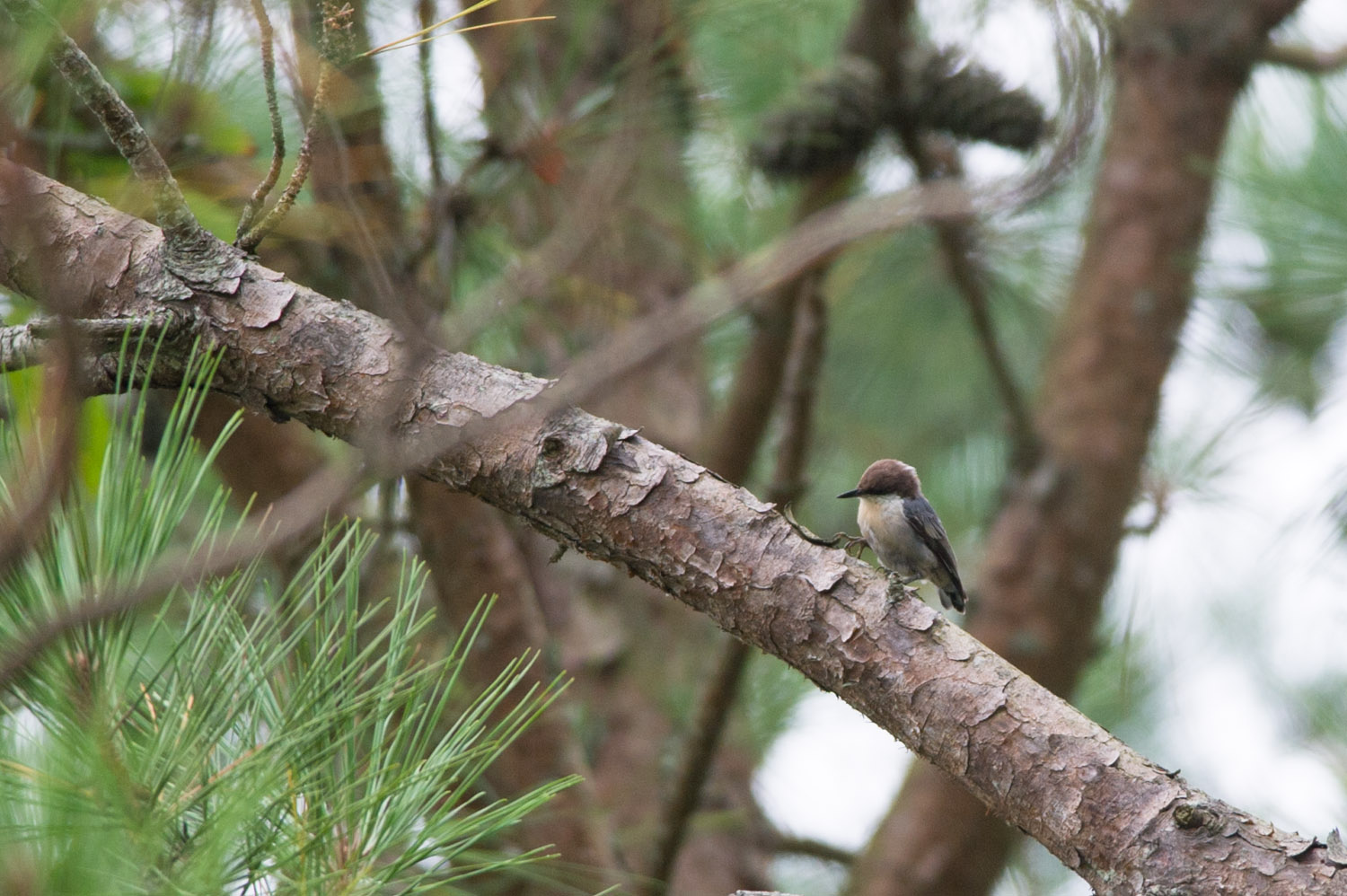 One of my first ever photos of a Brown-Headed Nuthatch.
