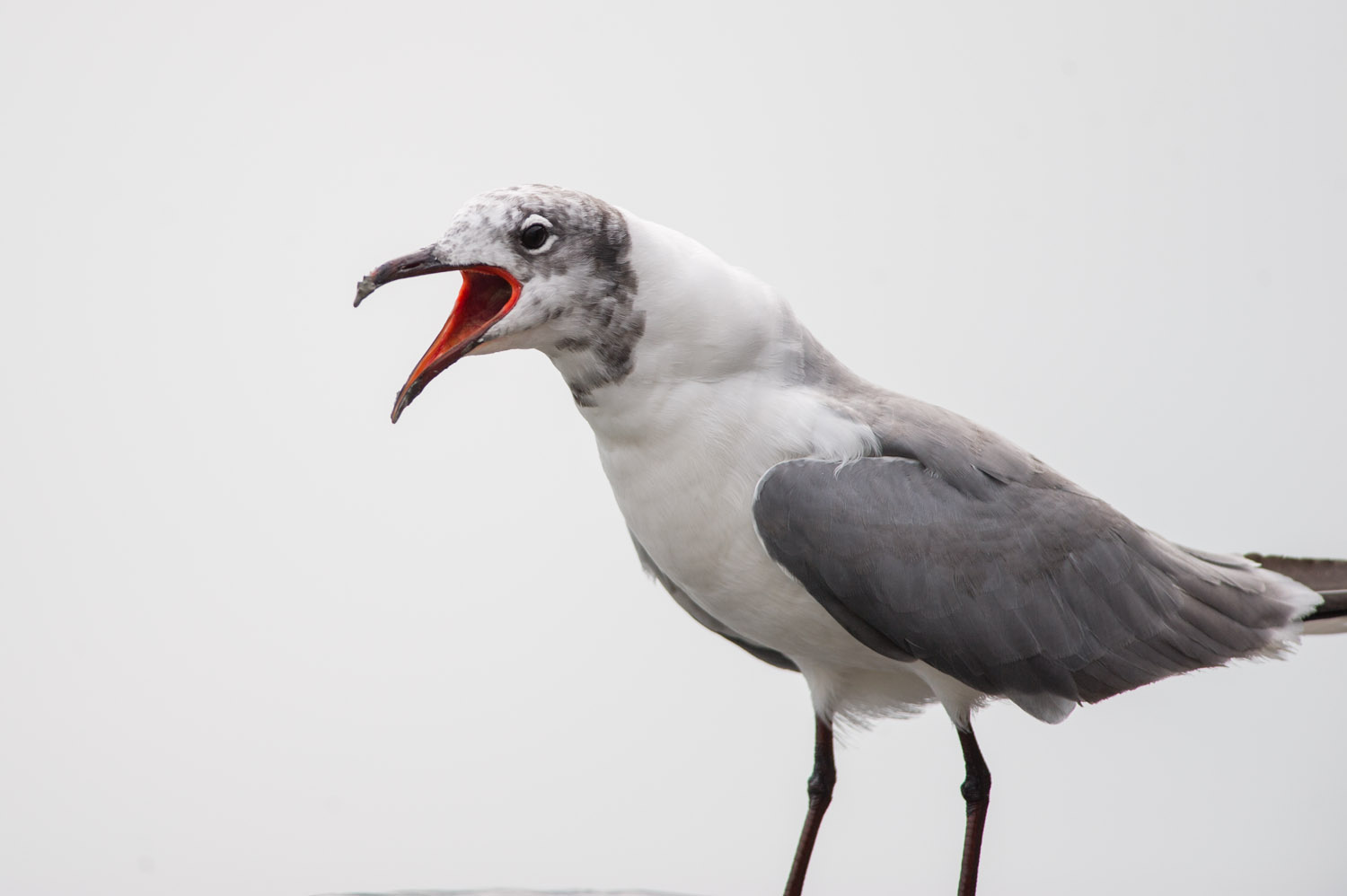 A handsome Laughing Gull squawking at me while I was throwing bread around.