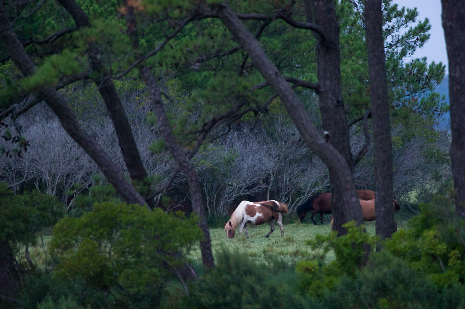 A n early morning trip with my father revealed these ponies grazing before the sun even came up.