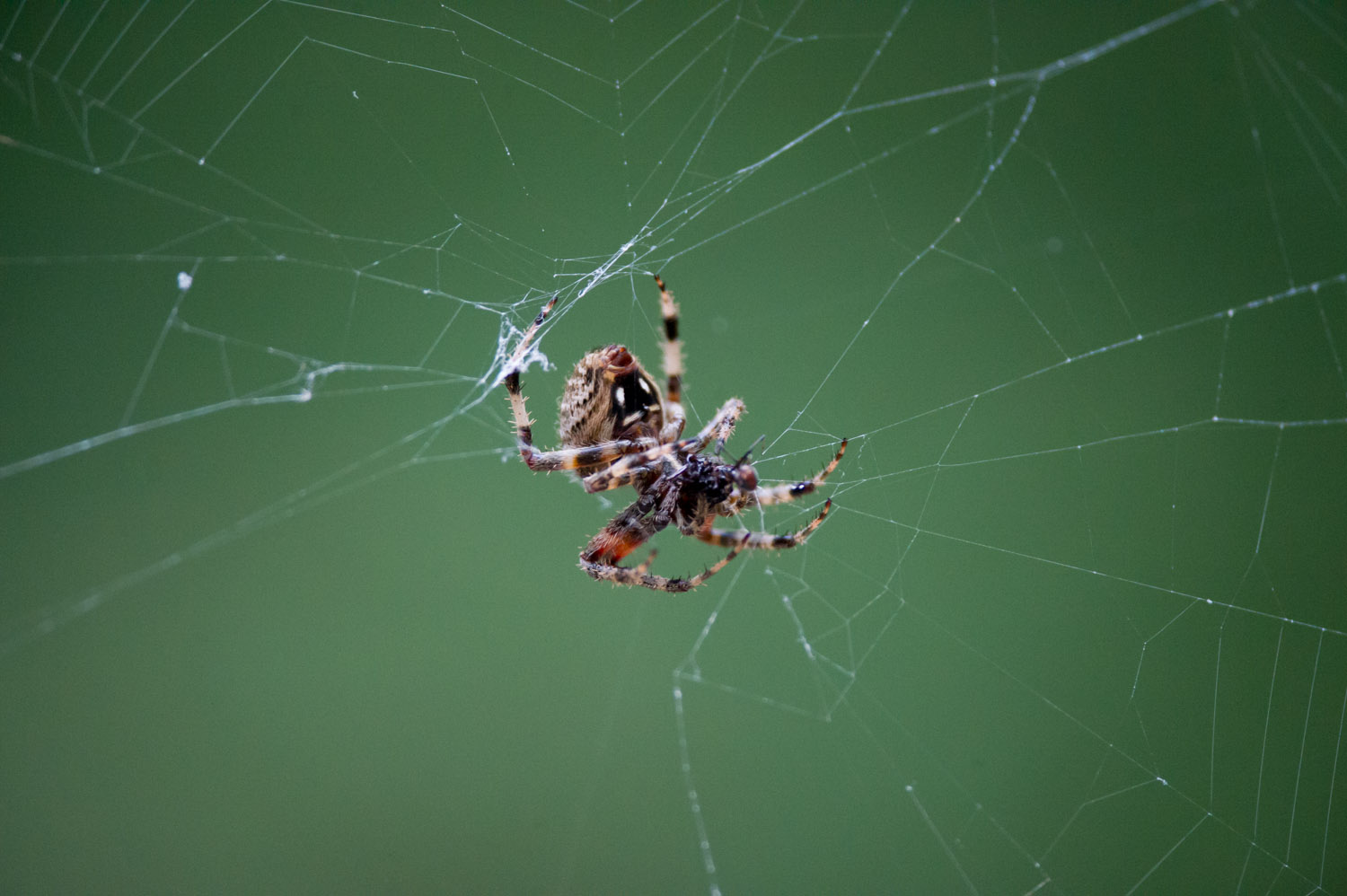 A large Spotted Orbweaver spider hanging on its web on a trail along the WIldlife Loop at Chincoteague NWR.