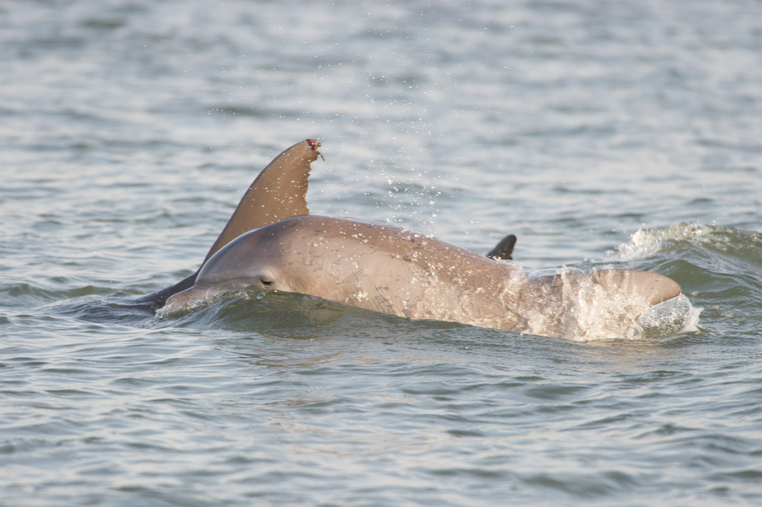 A couple of the group of dolphins that were swimming right around the boat.