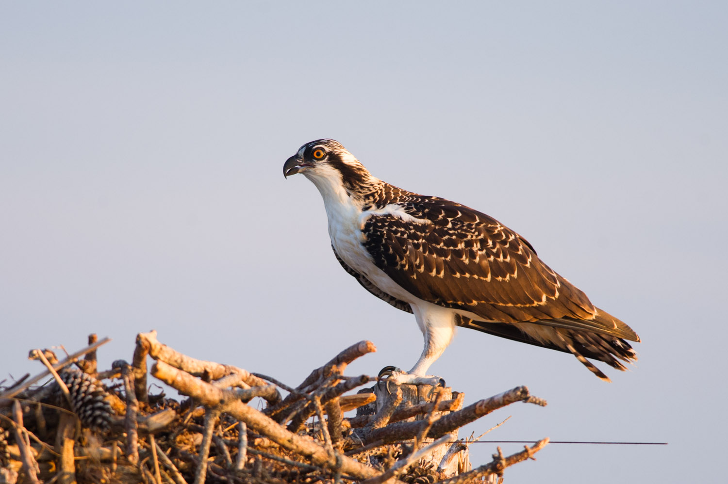 A n Osprey sitting on its nest as the sun starts getting low.