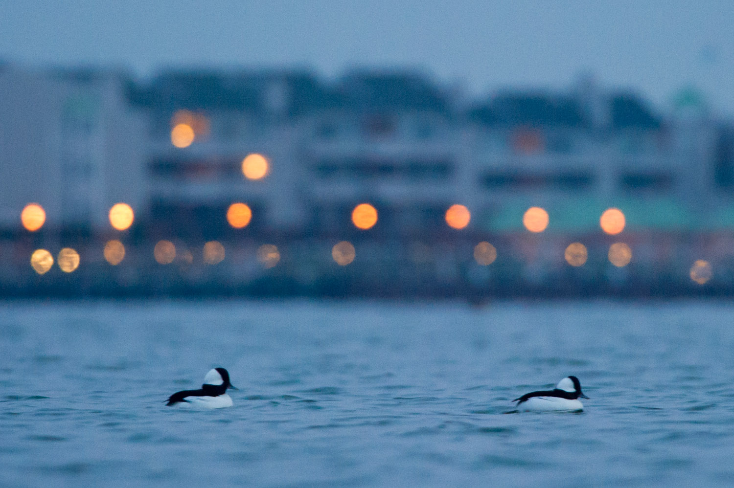 It's so early the street lights are still on in the background as a pair of male Bufflehead swim by.