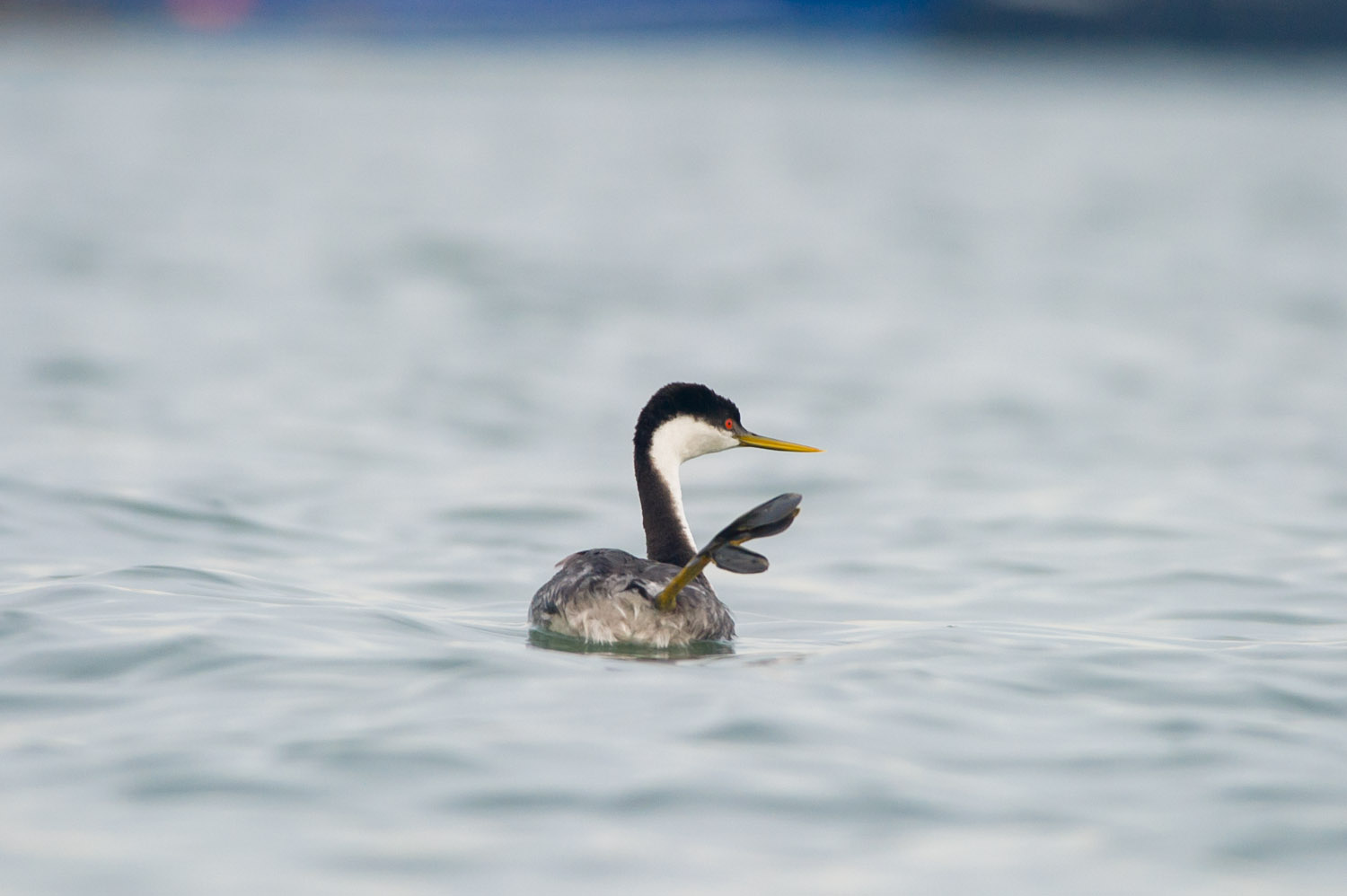 As if to wave goodbye the Grebe waves its goofy foot in the air, it's quite amusing to watch it do this.