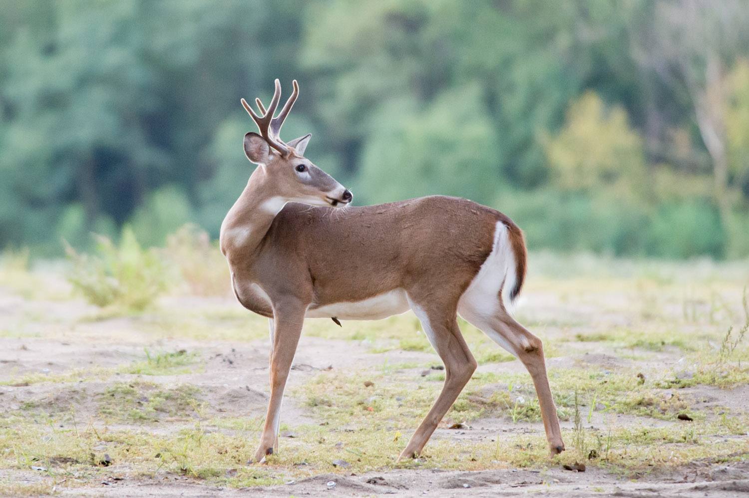 Anice buck shows off his still velvety antlers at Palmyra Cove.