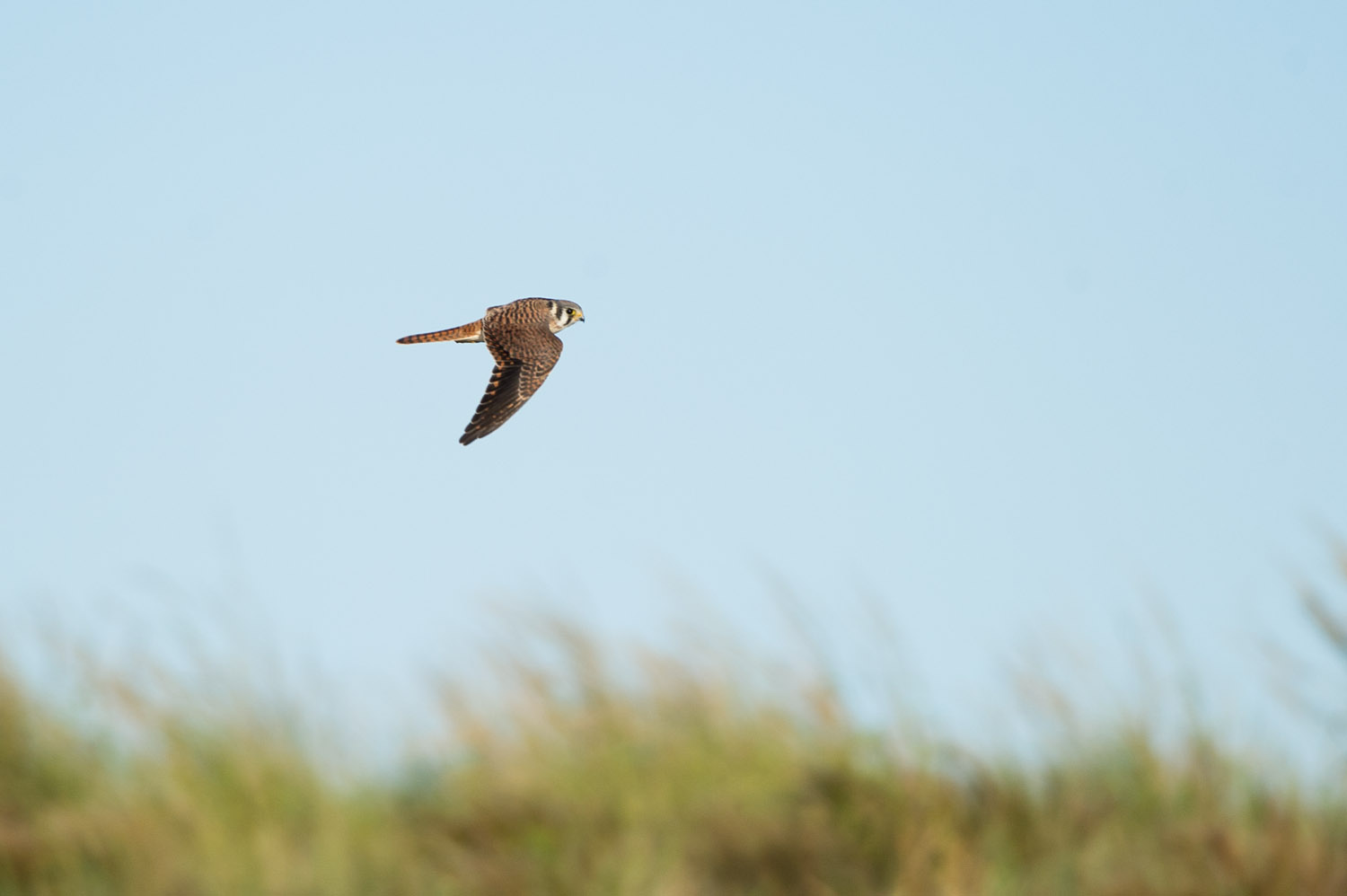 2 - A beautiful male American Kestrel flies over the dunes at Cape May State Park in early September.