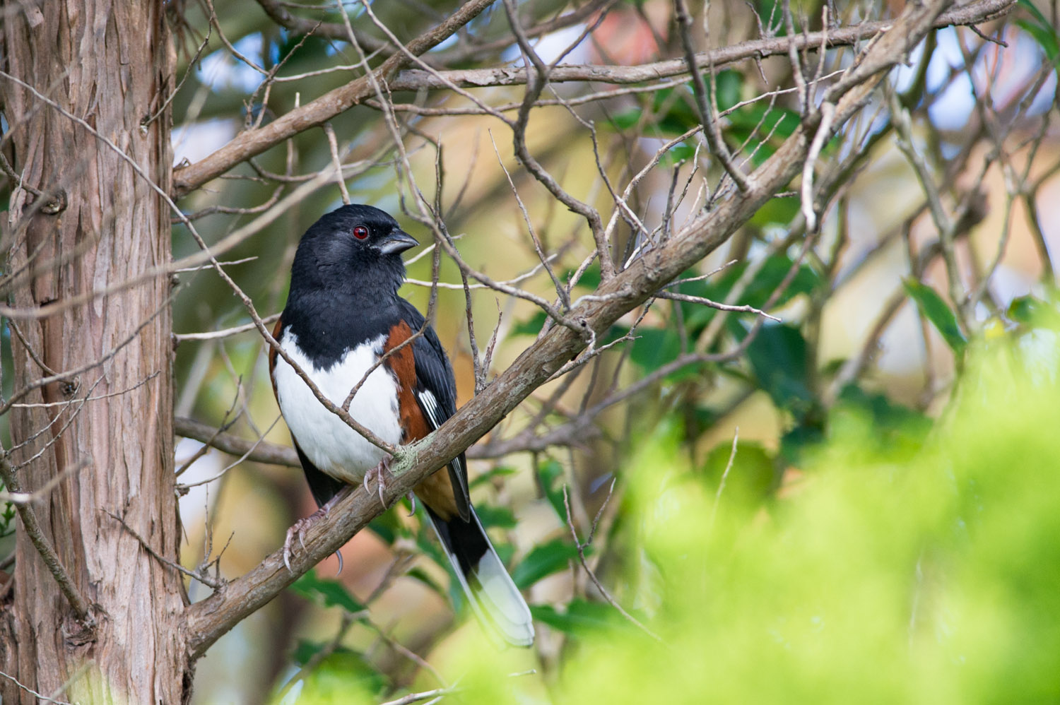 12 - A handsome Eastern Towhee at Island Beach State Park in early October.