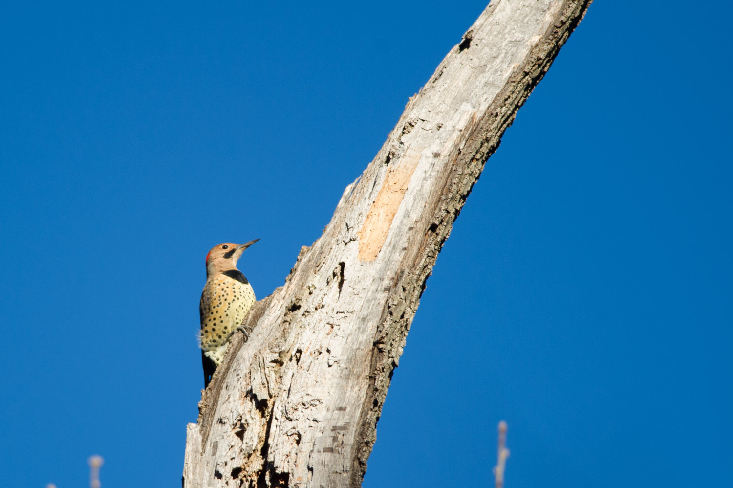 A Northern Flicker in search of food on the top of this dead tree.