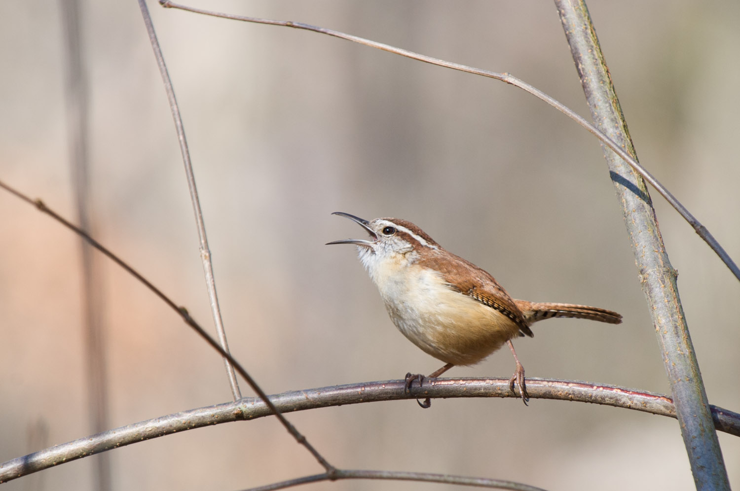 This tiny little Carolina Wren has one of the loudest voices of all the birds in the park.