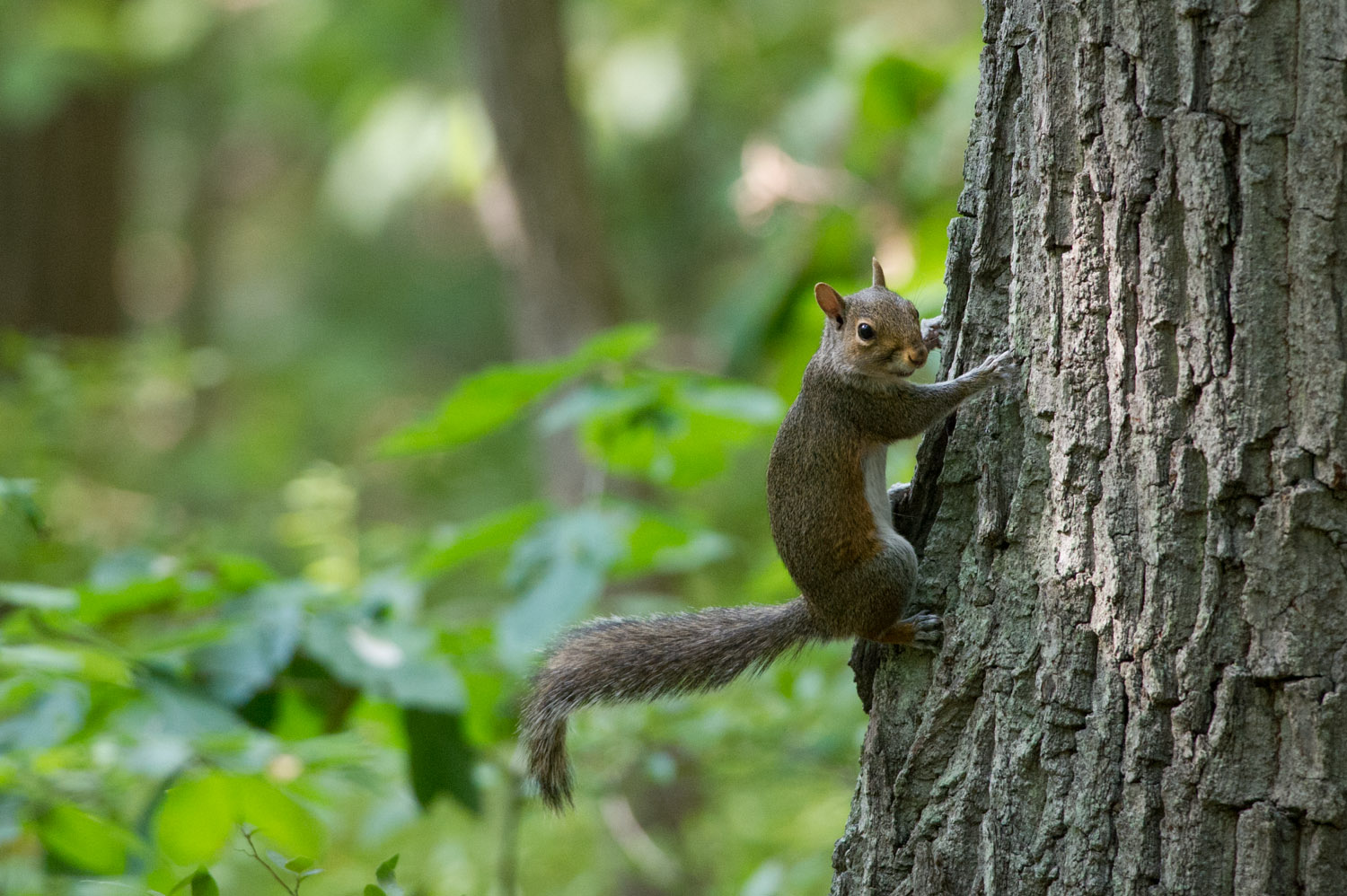 A small Gray Squirrel hanging onto the side of the tree to check me out.