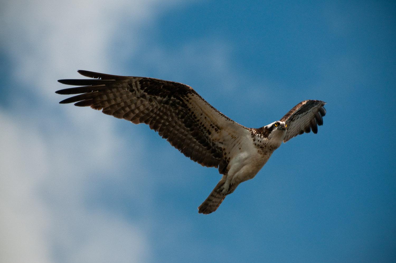 An Osprey flies overhead at JN Ding Darling National Wildlife Refuge in Sanibel, FL  .