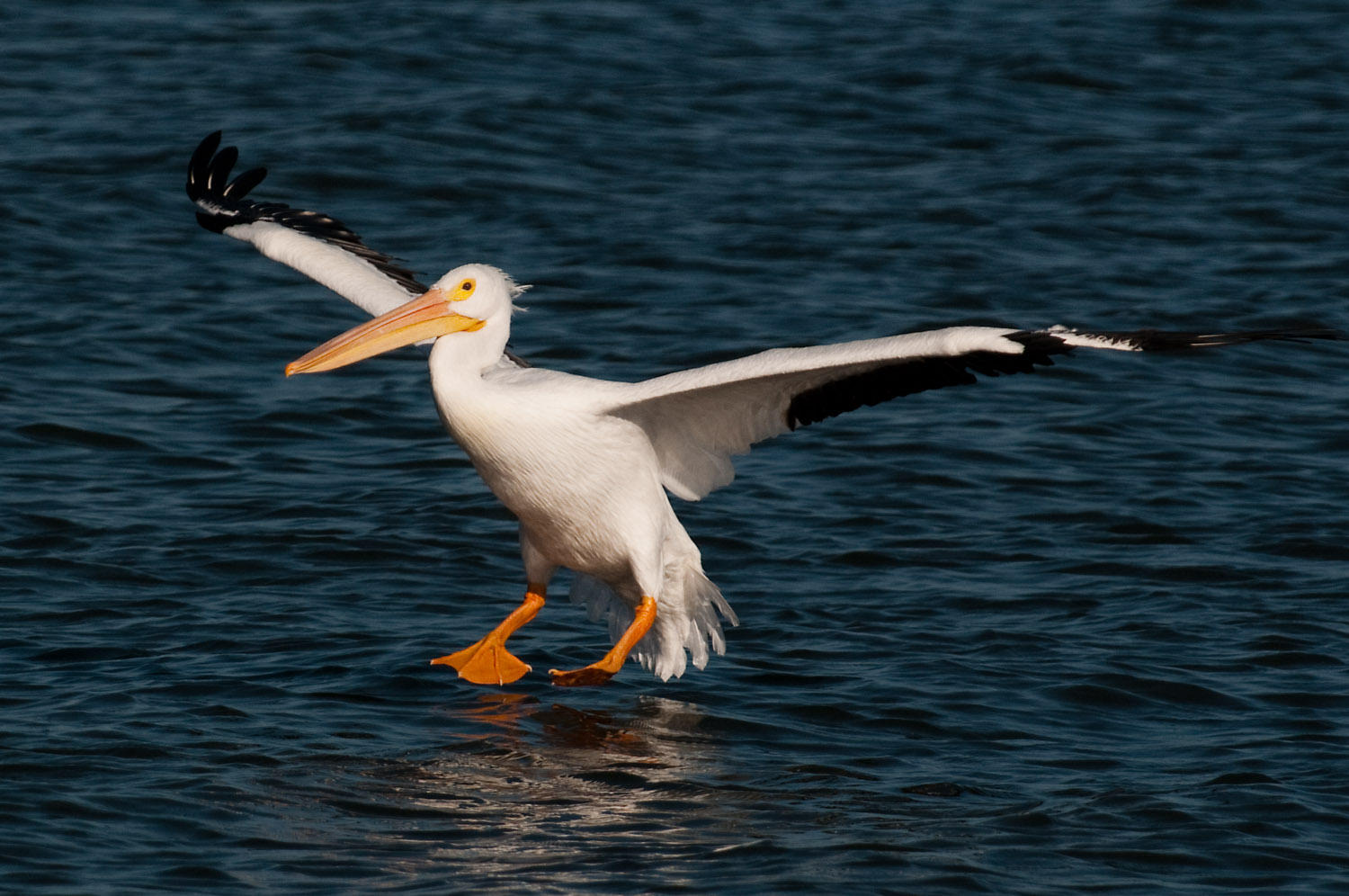 A big White Pelican coming in for a landing in Sebastian, FL  .