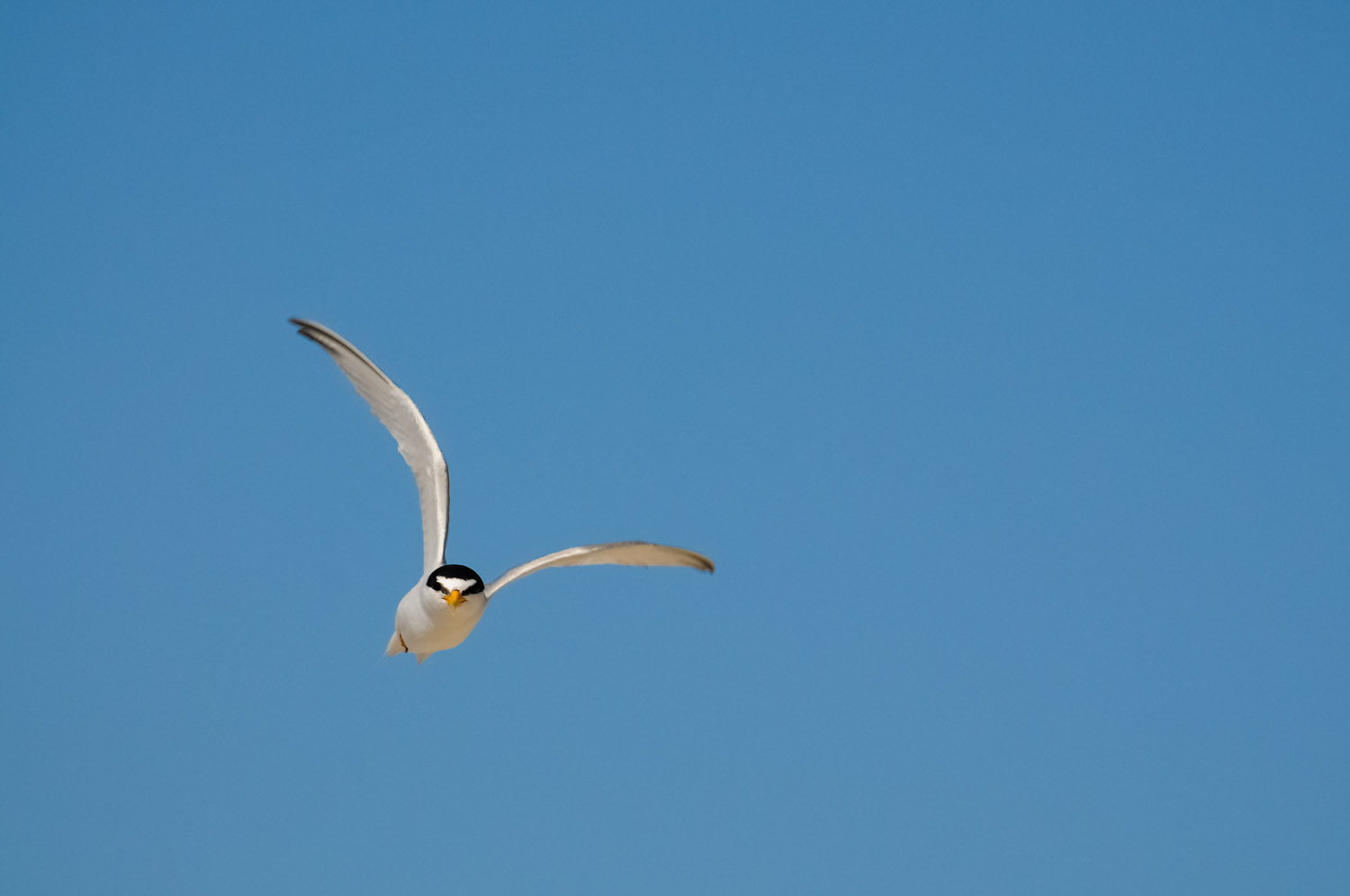 This Least Tern was defending its nesting area on the beach at Cape May State Park, NJ  .